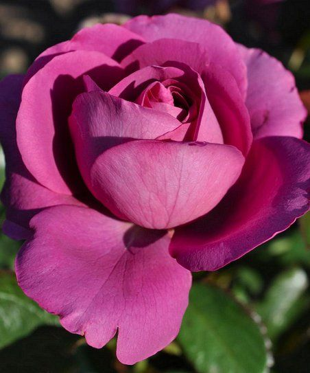 Enjoy The Fragrance And Beauty Of An Old Fashioned Garden Rose With The Easy Going Nature Of Modern Genetics Sunbelt In 2020 Shrub Roses Planting Roses Rose Nursery