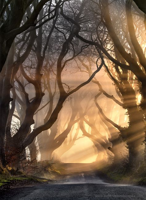 This reminds me of the Live Oak trees in the south. This is The Kings Road Ballymoney's Dark Hedges, County Antrim, Northern Ireland by Stephen Emerson.
