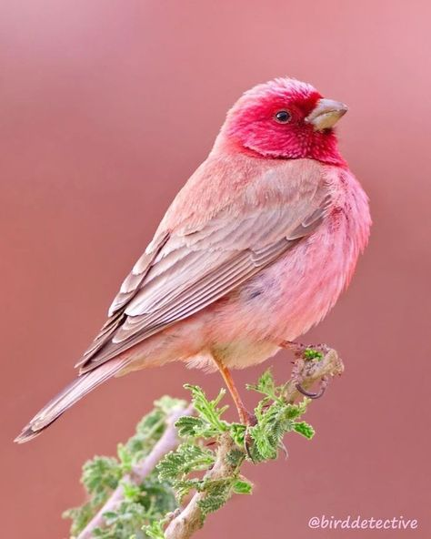 - Birds - Have you ever seen a pink bird? 😍❤️A beautiful pink colour! Have you ever seen a pink bird? 😍❤️A beautiful pink colour! Rosefinch photo by Cute Birds, Pretty Birds, Pretty In Pink, Birds Pics, Exotic Birds, Colorful Birds, Colorful Animals, Tropical Birds, Exotic Pets