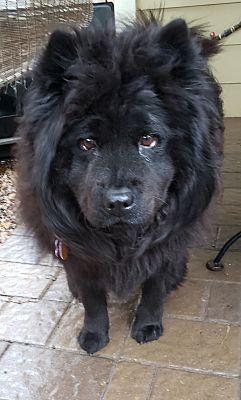 Houston Tx Chow Chow Meet Tempe A Pet For Adoption Pet