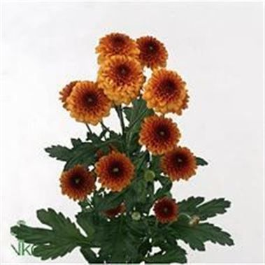 Chrysanthemum Santini Lexy
