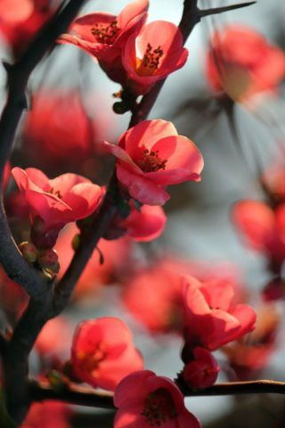 Black And Red Flowers Wallpaper Cherry Blossom Flowers Red Cherry Blossom Flowers Photography