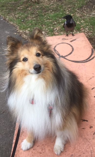 Honey Friend Jpg Fur Friend Sheltie Mini Collie