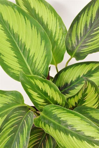 + RARE + les arbres verts chambre Plante! Aralie Fatsia Japonica