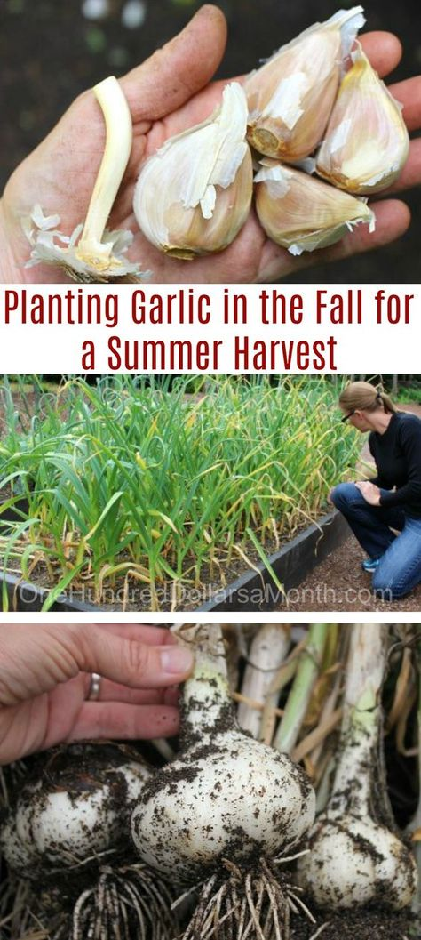 It's that time of year again…or, if you have never tried growing garlic, it's time to start. Garlic is RIDICULOUSLY easy to grow, and it overwinters, so it doesn't really take up too much time or precious space in your garden boxes. Growing garlic is very Home Vegetable Garden, Fruit Garden, Edible Garden, Veggie Gardens, Garden Plants, Diy Gardening, Organic Gardening, Balcony Gardening, Gardening Supplies