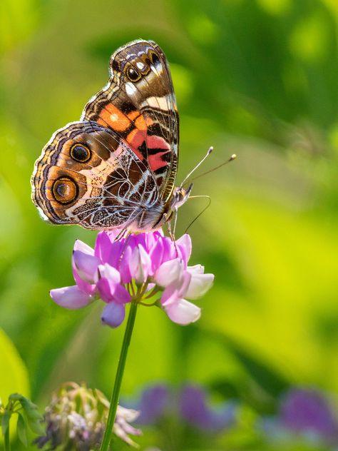 painted lady on pink flower