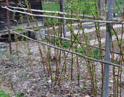 How To Prune Everbearing Raspberries Prune Raspberry Canes Raspberry