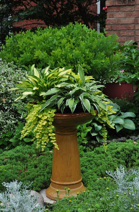 This birdbath-turned-planter uses a mix of hostas, with some chartreuse-colored creeping jenny thatspillsbeautifully over the edge of the planter.Notice the a low-growing  evergreen at the base of the planter that adds understated textural interest that supports, but doesn't compete with the container planting.