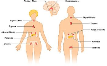 The Endocrine System And Glands Of The Human Body Endocrine System Endocrine System Nursing Endocrine