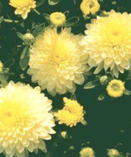 Choosing Using Mums Choosing Mums Using Mum Chrysanthemum Plants