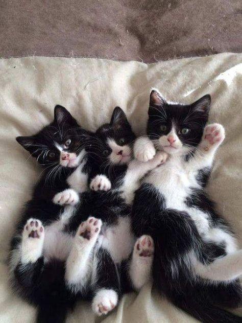 Cat Facts: Wissenswertes über Smoking-Katzen mit 'Tuxie-Tude', #39TuxieTude39 #cat #Facts #mit #SmokingKatzen #über #Wissenswertes