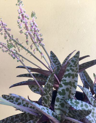 Violet Squill Ledebouria Socialis Plants Buy Plants