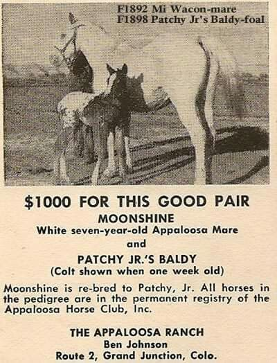 Wonder Whatever Happened To Her With Images Appaloosa Horses