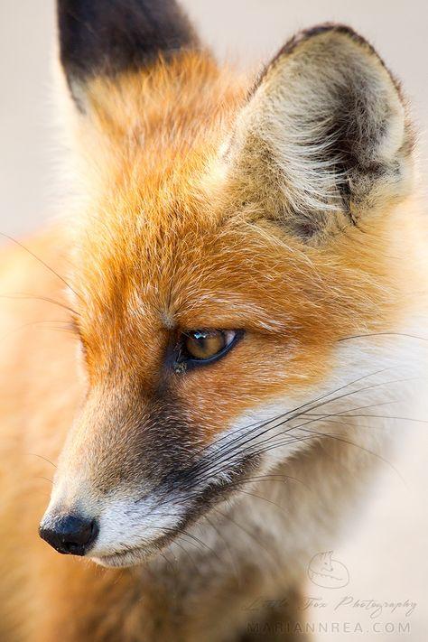 Cute little fox portrait by Mariann Rea on 500px