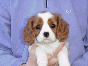 Beautiful Cavalier King Charles Puppies For Sale Inkster Mi