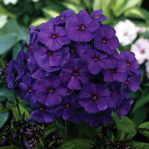 Phlox Nicky Phlox Paniculataperennial Phlox Bulb Flowers Phlox