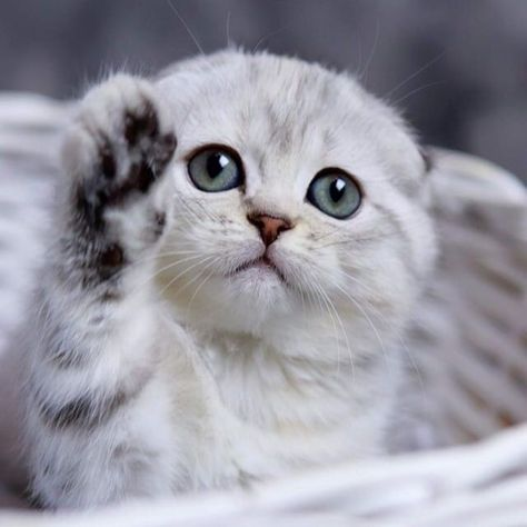 If Your Kitten Has Blue Eyes They Might Not Stay That Color Reserved Like Some Human Babies All Kittens Are Born With Blue Eye In 2020 Happy Paw Human Babies Kittens