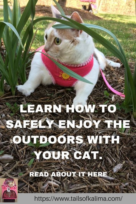 Everything you need to know about enjoying the outdoors with your cat. How to do it safely for your cat so you both can enjoy the upcoming spring and summer months ahead! Written by a Registered Therapy Animal Owner. Based on the life of Kali-Ma the Therapy Cat. Come see other Cat Care tips. #cats #catlovers #cutecats #cattherapy #animalovers #pets #feline #catcare #calico #calicocats #catsonaleash #barncatcare