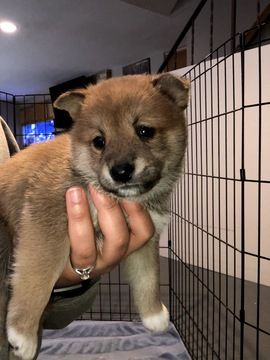 Litter Of 6 Shiba Inu Puppies For Sale In Inver Grove Heights Mn