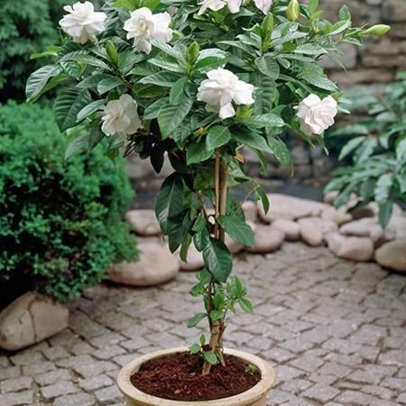 Double Blooming Gardenia Tree With Images Gardenia Trees Fast Growing Trees Growing Tree