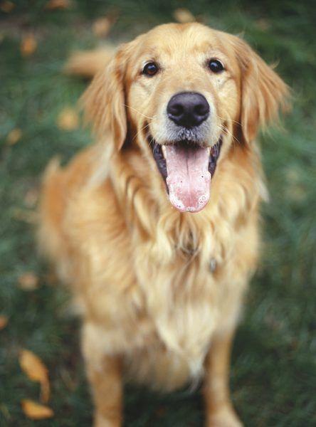 Las 10 Mejores Razas De Perros Para La Familia Razas De Perros
