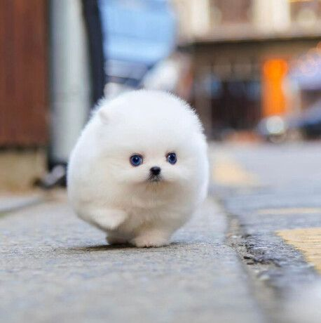 Cute teacup Pomeranian puppy, Los Angeles