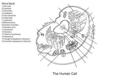 Human Cell Worksheet Coloring page | nurse | School coloring ...