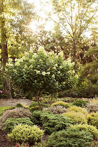 Proven Winners 5 Gallon Pw Limelight Hydrangea Tree The Home Depot Canada Pruning Hydrangeas Hydrangea Tree Hydrangea Paniculata