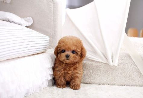 ideas dogs and puppies teacup i want for 2019 Ideen Hunde und Welpen Te Micro Teacup Poodle, Teacup Poodles For Sale, Teacup Poodle Puppies, Tea Cup Poodle, Teacup Maltipoo, Micro Teacup Puppies, Pomeranian Puppy, Mini Poodle Puppy, Cute Little Puppies