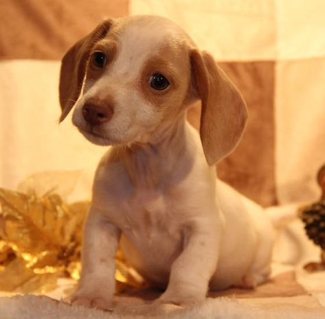 Chocolate Tan Miniture Smooth Dachshund Puppies 540e1451906af Jpg