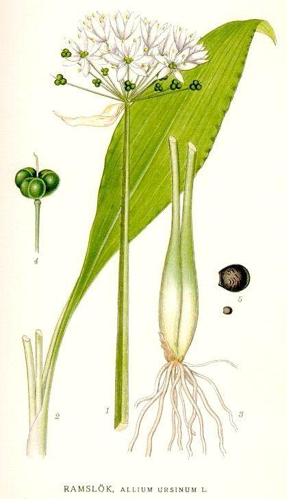 Ramslok Allium Ursinum Planter