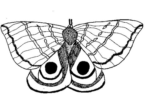 Io Moth Illustration For Coloring Moth Illustration Io Moth Moth