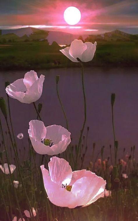 #naturfotografie #sonnenuntergang #naturfotografie #sonnenuntergang #schönenatur #schonenatur #fotografie #fotografie #sunset #sunset #natur #natur #poppy #poppyPoppy Sunset ... -