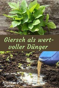 Giersch Zu Wertvollem Dunger Verarbeiten Gartendunger Giersch Garden Types