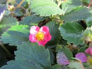 fragaria - beautiful and sweet strawberries from http://www.goodkarmaco.com