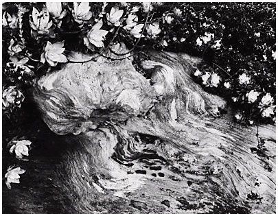 EDWARD WESTON (1886-1958) , Cypress, Point Lobos, 1929