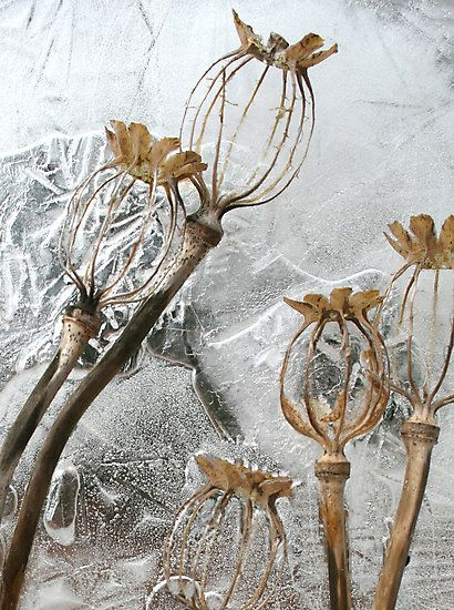 Blumen Poppy Seed Pods in Ice by John Bromley Cheer Up Your Window This Winter With A Backyard To Gr