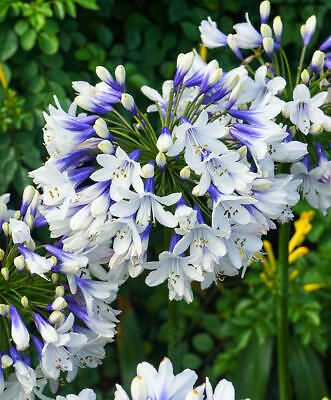 Agapanthus A Very Nice Plant The Main Varieties Of Which Are Evergreen The Flower Has An Interesting Shape Leaves Agapanthus Plant Agapanthus African Lily