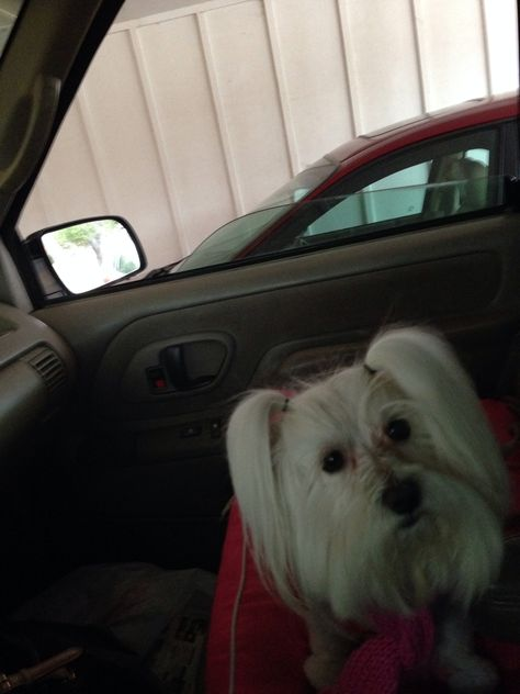 Pin by Michelle Smith on Lilly The SuperStar Maltese | Pinterest | Maltese