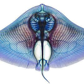 Butterfly Ray By Adam Summers Colorful Fish Wall Art For Sale Fine Art America