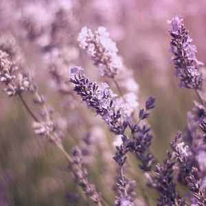 English Lavender By Ethiriel Photography Lavender Aesthetic Flower Aesthetic English Lavender