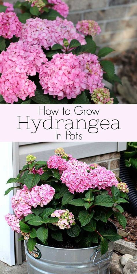 , Learn all about growing hydrangea in pots including how to plant them, what growing conditions they prefer, how to make your hydrangea changes colors . , How To Grow Hydrangea In Pots Growing Flowers, Growing Plants, Planting Flowers, Growing Hydrangea, Flowers Perennials, Flower Gardening, How To Grow Hydrangeas, Flowers Garden, Succulent Gardening
