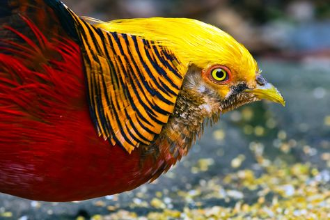 Chinese Pheasant - Chrysolophus pictus (MALE)
