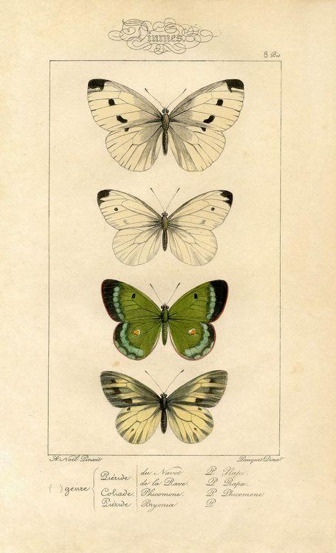 Natural History Printable Image  Moths  Butterflies