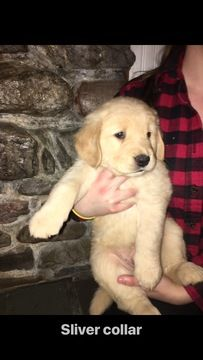 Litter Of 4 Golden Retriever Puppies For Sale In Bristol Vt Adn