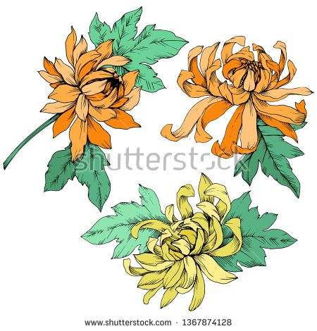 Stock Vector Vector Yellow And Orange Chrysanthemum Floral Botanical Flowers Wild Spring Leaf Wildflower Isolated Engrav Flower Illustration Floral Botanical