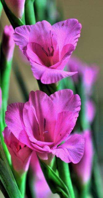 Pin By Blacklady13 On Flowers Beautiful Flowers Amazing Flowers Gladiolus