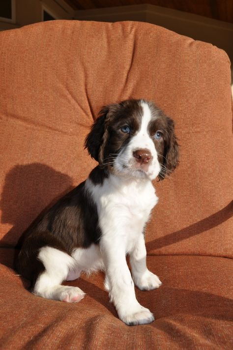 English Springer Spaniel Puppies.. i grew up having english springer spaniels until i moved out of my parents house...actually the last one just passed away about 2 years ago. i need another! they are the sweetest dogs ever!!!