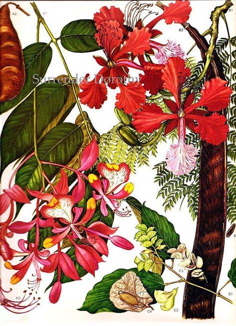 Orchid Bush Legume Pod Flowers South East Asia Botanical Exotica 1969 Large Vintage Lithograph Illustration Print To Frame 113