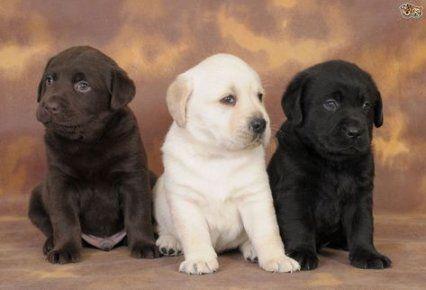 Best Tattoo Dog Small Pets 40 Ideas Susse Tiere Labrador Retrievers Hunde Fotos